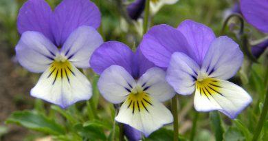 ФИАЛКА ПОЛЕВАЯ (Viola tricolor L.)