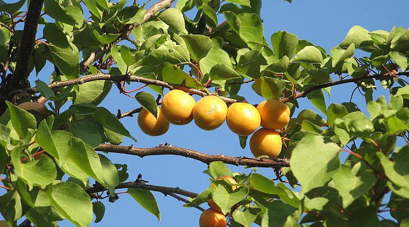 АБРИКОС ОБЫКНОВЕННЫЙ (Armeniaca vulgaris Lam)