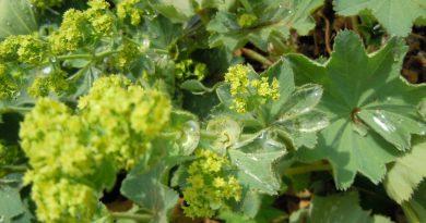 МАНЖЕТКА ОБЫКНОВЕННАЯ (Alchemilla vulgaris L.)