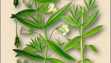 АВРАН ЛЕКАРСТВЕННЫЙ (Gratiola officinalis L)