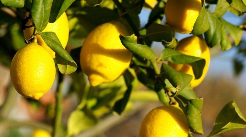 ЛИМОН (Citrus limon L.)