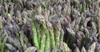 СПАРЖА ЛЕКАРСТВЕННАЯ (Asparagus officinalis L.)