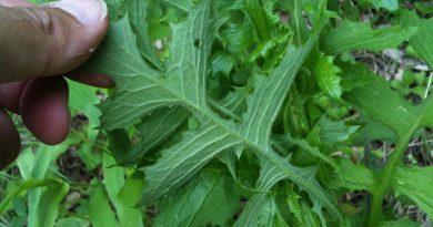 ЛАТУК ДИКИЙ (латук компасный) (Lactuca scarioia L.)