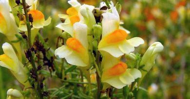 ЛЬНЯНКА ОБЫКНОВЕННАЯ (дикий львиный зев) (Linaria vulgaris Mill.)
