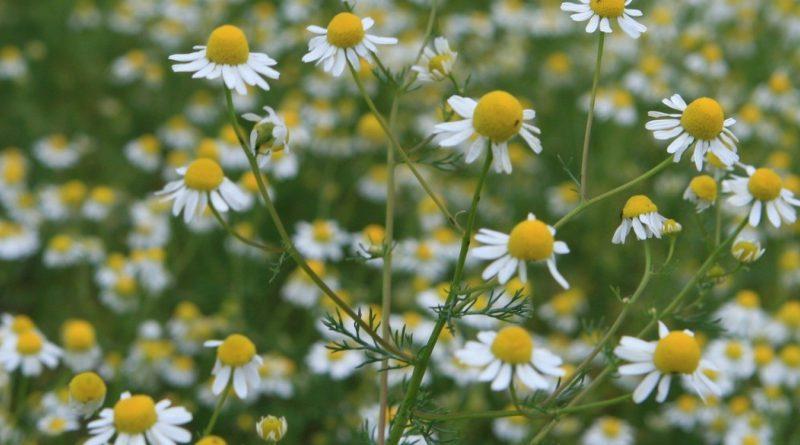 РОМАШКА АПТЕЧНАЯ (ромашка лекарственная) (Matricaria chamomilla L.)