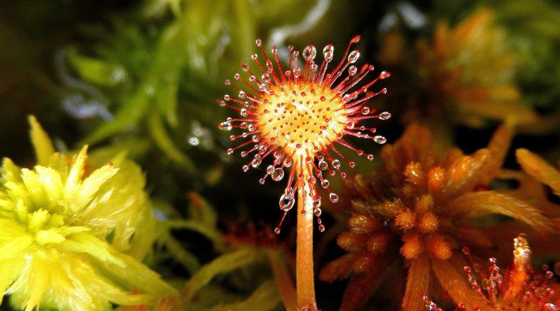 РОСЯНКА КРУГЛОЛИСТНАЯ (Drosera rotundifolia L.)