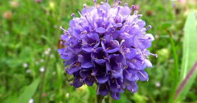СИВЕЦ ЛУГОВОЙ (Succisa pratensis Moench. (Scabiosa succisa L.))