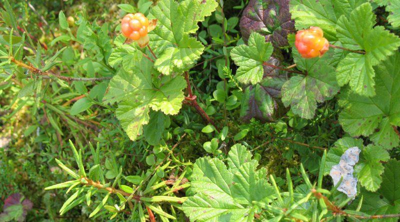 МОРОШКА (Rubus chamaemorus L.)