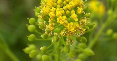 НЕСЛИЯ МЕТЕЛЬЧАТАЯ (Neslia paniculata L.)