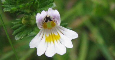 ОЧАНКА ЛЕКАРСТВЕННАЯ (Euphrasia officinalis L.)