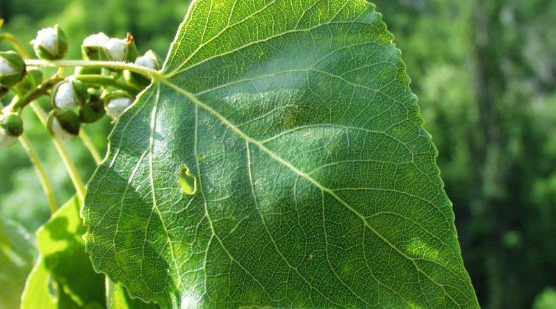ТОПОЛЬ ЧЕРНЫЙ (осокорь) (Populus nigra L.)
