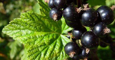 СМОРОДИНА ЧЕРНАЯ (Ribes nigrum L.)