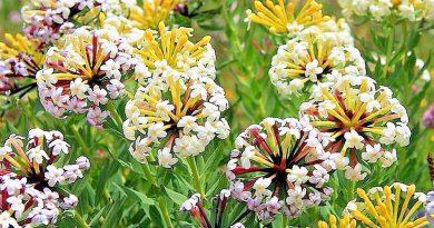 СТЕЛЛЕРА КАРЛИКОВАЯ (Stellaria hamaejasme L.)