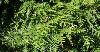 ТУЯ ЗАПАДНАЯ (Thuja occidentalis L.)