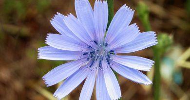 ЦИКОРИЙ ОБЫКНОВЕННЫЙ (Cichorium intybus L.)