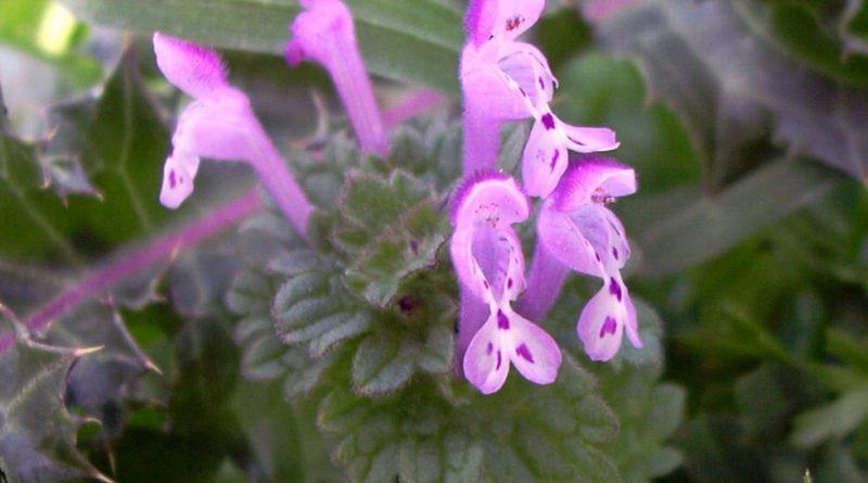 ЯСНОТКА СТЕБЛЕОБЪЕМЛЮЩАЯ (Lamium amplexicaule L.)