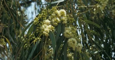 Eucalyptus globulus Labill