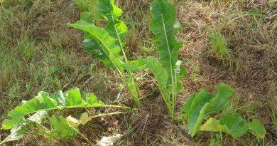 ХРЕН ОБЫКНОВЕННЫЙ (Armoracia rusticana Lam.)