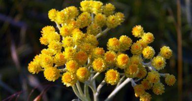 ЦМИН ПЕСЧАНЫЙ (Helichrysum arenarium L.)