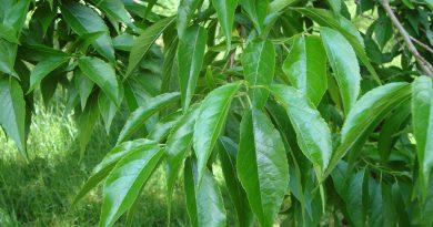 ЭВКОММИЯ ВЯЗОЛИСТНАЯ (Eucommia ulmoides Oliv.)