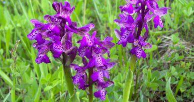 ЯТРЫШНИК (Orchis morio L.)