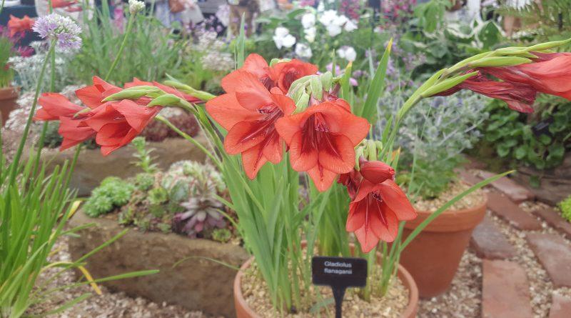 ШПАЖНИК ЧЕРЕПИТЧАТЫЙ (гладиолус) (Gladiolus imbericatus L.)