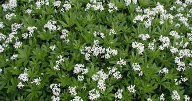ЯСМЕННИК ДУШИСТЫЙ (Asperula odorata L.)