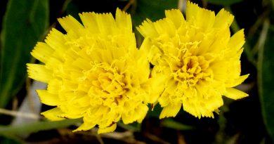 ЯСТРЕБИНКА ВОЛОСИСТАЯ (Hieracium pilosella L.)