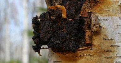 ЧАГА (березовый гриб) (Inonotus obliquus (Pers.) Pil.)