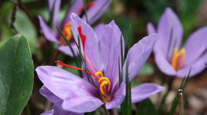 ШАФРАН ПОСЕВНОЙ (Crocus sativus L.)