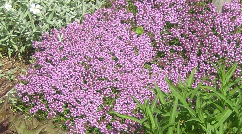 ЧАБРЕЦ (тимьян ползучий) (Thymus serpyllum L.)