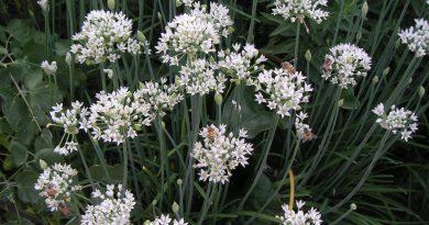 ЧЕСНОК ПОСЕВНОЙ (Allium sativum L.)
