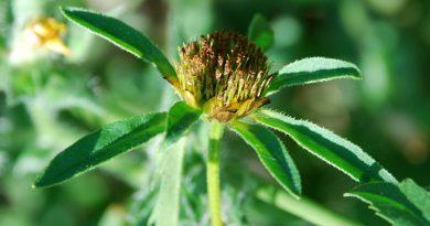 ЧЕРЕДА ТРЕХРАЗДЕЛЬНАЯ (золотушная трава) (Bidens tripartitus L.)