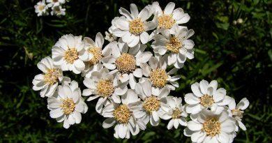 ЧИХОТНАЯ ТРАВА (Ptarmica vulgaris D. С.)
