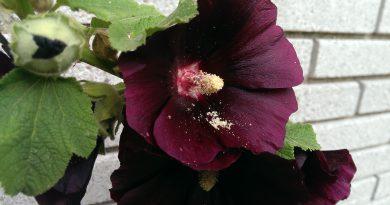 ШТОК-РОЗА (мальва) (Alcea rosea L. var. nigra.)