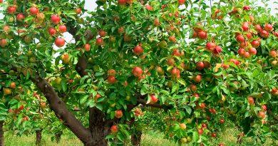 ЯБЛОНЯ ДОМАШНЯЯ (яблоня садовая) (Malus domestica Borkh.)